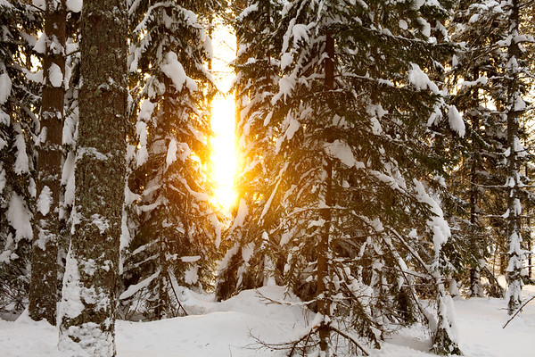 Snow-covered forest and sunshine