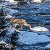 Canada Lynx (Lynx canadensis) Superior National Forest - Minnesota
