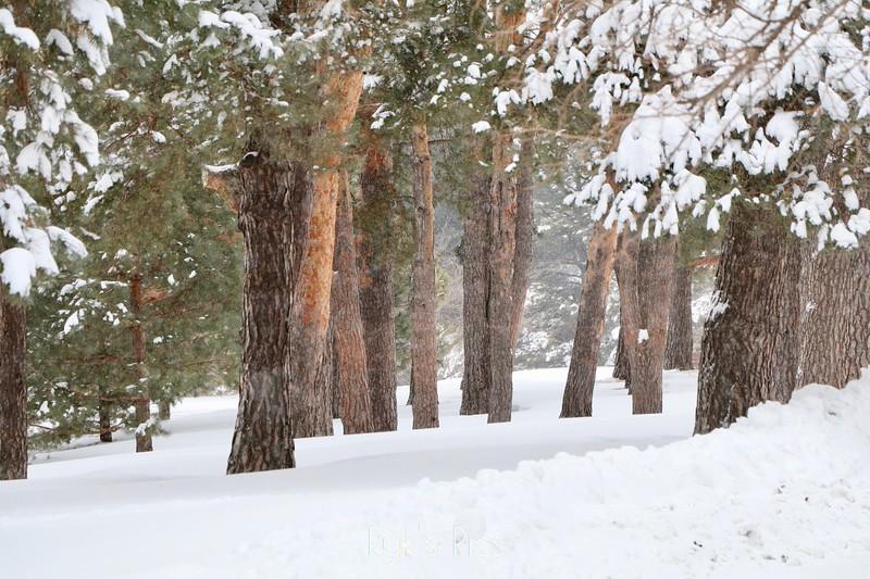 Como Park Pines