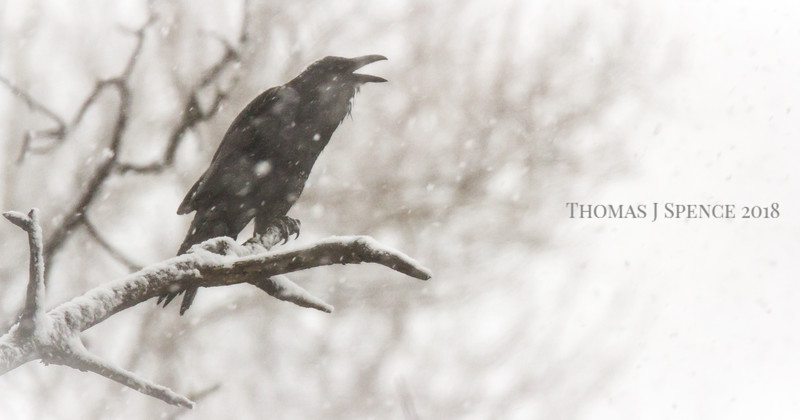 Raven in Snowfall