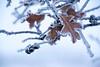 Gambel Oak Leaves and Acorn Tops