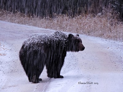 Freezing snow encrusted brown bear