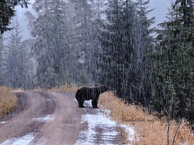 Black bear in sleeting rain (he needs to go into hibernation)