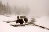 Winter Bison, Yellowstone NP