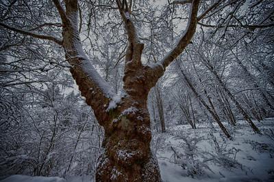 Reinig Rd Sycamore Bumpy Bark Snowy Morning Wide Angle 2-4-19