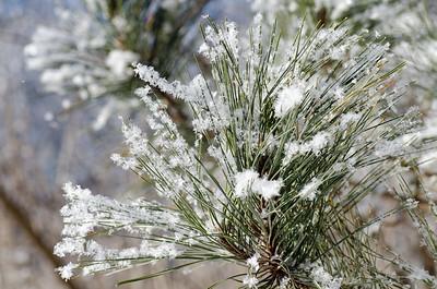 snow crystals on pine needles