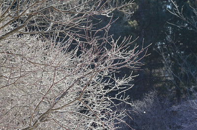 ice crystals on bushes