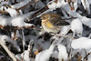 Frigid Yellow-Rumped Warbler at Hatteras Island