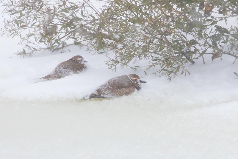 Kildeer pair surviving blizzard by hunkering down behind windbreak at Alligator River NWR