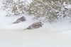 Kildeer pair surviving blizzard by hunkering down behind windbreak at Alligator River NWR
