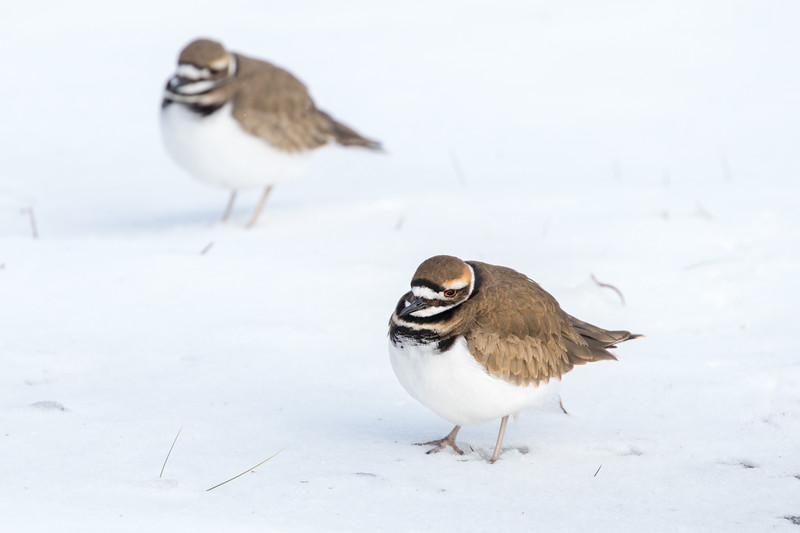 Kildeer pair puzzled by snow at Hatteras Island