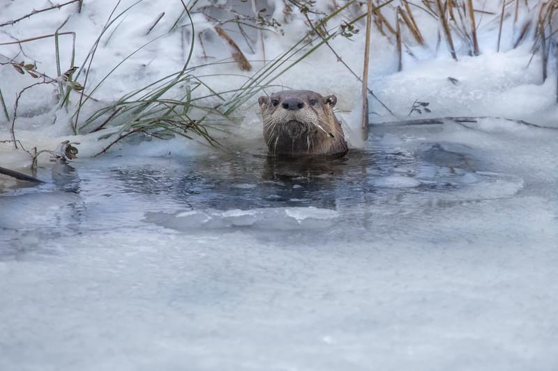 River Otter at Alligator River NWR