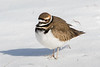 Cold Kildeer standing in snow at Hatteras Island
