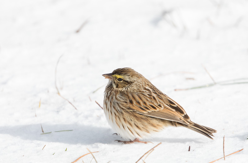 Savannah Sparrow foraging for seeds in the snow