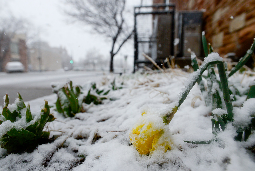 . BOULDER, CO - MARCH 13:A flower, weighed down by heavy wet snow, is seen off Spruce Street in Boulder on March 13, 2019. Today\'s forecast calls for cloudy skies with a high of 36 and 4 to 8 inches of snow with winds 28 to 33 mph with gusts as high as 55 mph.  (Photo by Matthew Jonas/Staff Photographer)