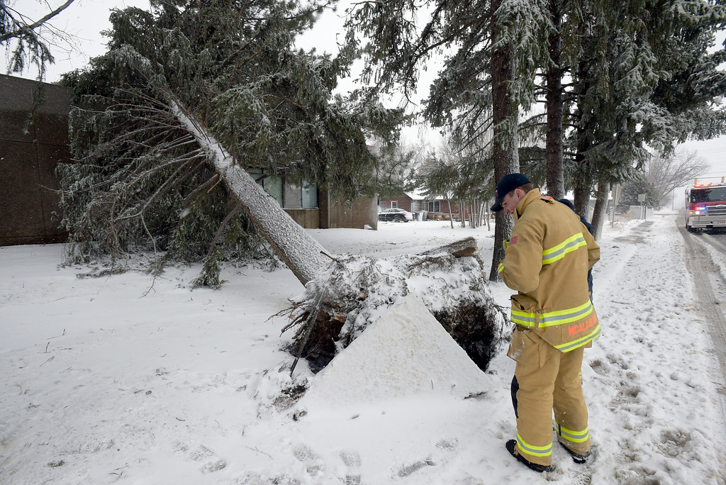 . LONGMONT, CO - MARCH 13:  Longmont firefighters inspect the damage to a sidewalk after a tree was uprooted along 17th Avenue, near Gay Street, during the blizzard March 13, 2019. To view more photos visit timescall.com. (Photo by Lewis Geyer/Staff Photographer)