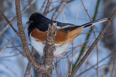 Rufous-sided Towhee on a broken branch