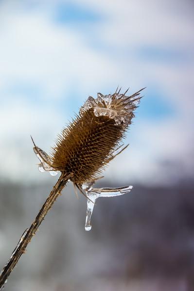 Frozen Teasel