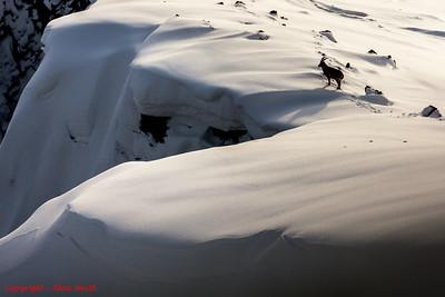 Snow Ridge Bouquetin