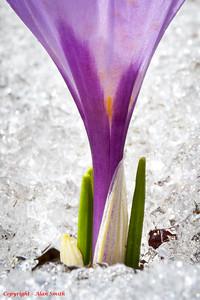 Spring Crocus in Snow