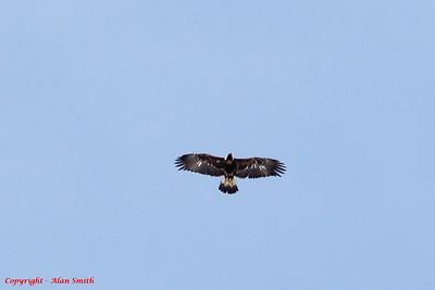 Eagle - Golden Eagle