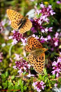 Butterfly - Unidentified Butterfly