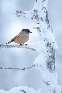 Siberian Jays (Perisoreus infaustus) were less commonly seen, but made the appearance