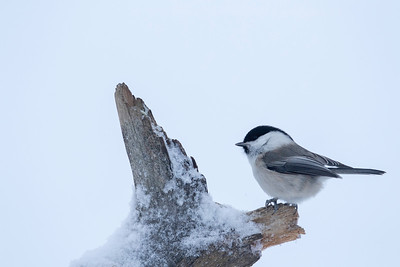 The grey headed chickadee (Parus cinctus) was quite common everywhere.