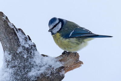 The Eurasian blue tit (Parus caeruleus) was right there with the others looking for food.