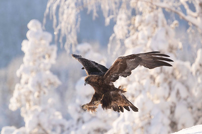 The golden eagle (Aquila chrysaetos) is one of the primary goals of winter bird photography in Finland.  The dramatic light and snow make an excellent background.