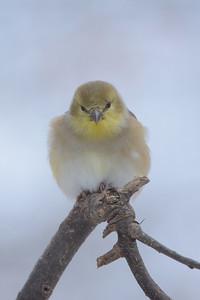 Finch Meditation