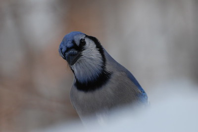 Pensive Blue Jay
