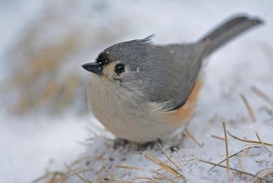 Snowy Titmouse