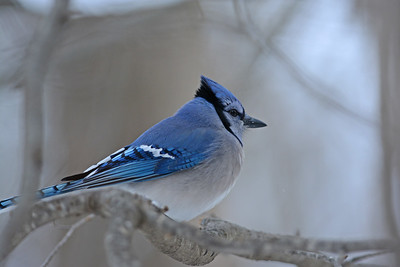 Very Blue Jay