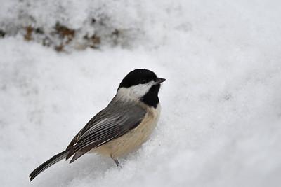 Snowy Chickadee