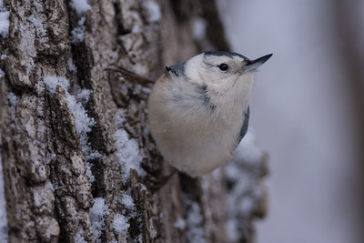 Nuthatch on a Snowy Maple