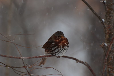 Fox Sparrow in the Snow