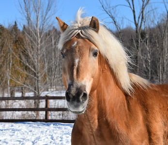 Winter Horse Collection 2017 Nestle The Haflinger