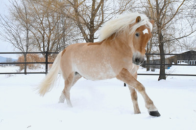 Haflinger - ©Tom von Kapherr photography.com 2016