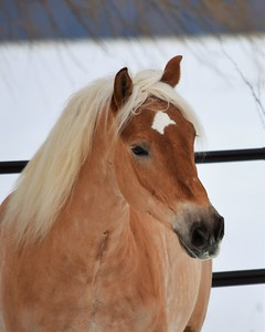 Winter Horse Collection 2017 Haflinger - ©Tom von Kapherr photography.com 2016