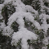 Snow on Balsam Tips