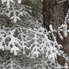 Snow on Balsam Branches