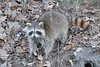 Toronto - Humber Raccoon