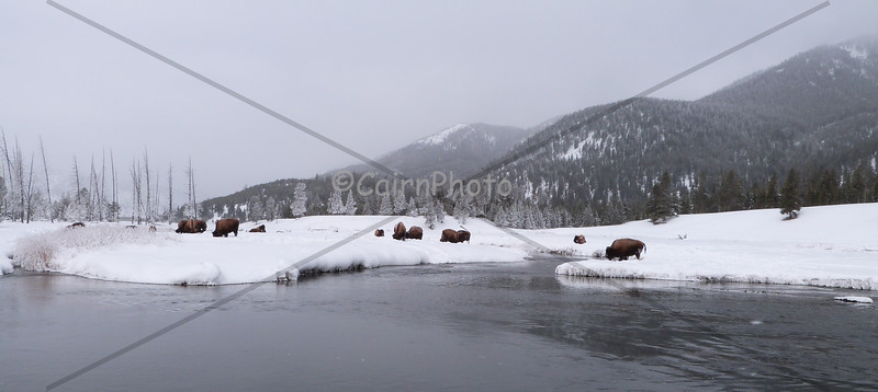 Bison herd near Madison River