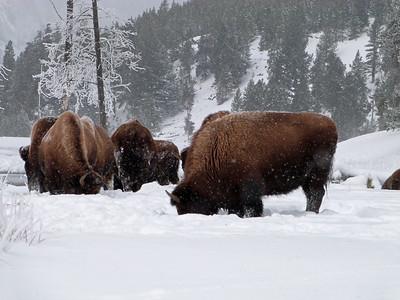 Herd Graze