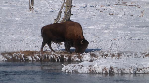 Lone grazing bison