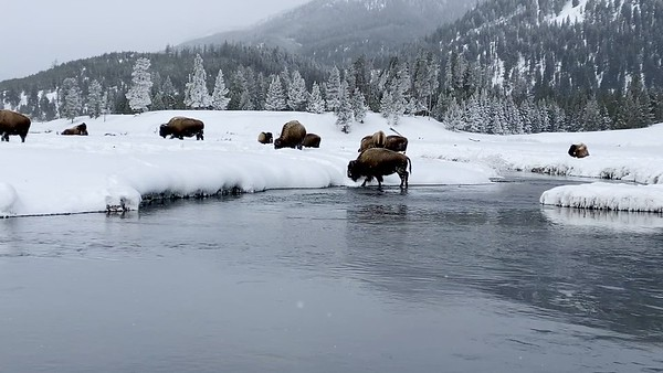 Grazing bison on the move