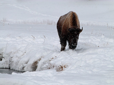 Icy Bison