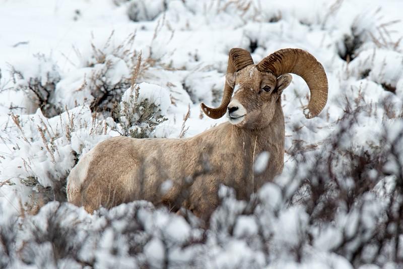 Winter Ram