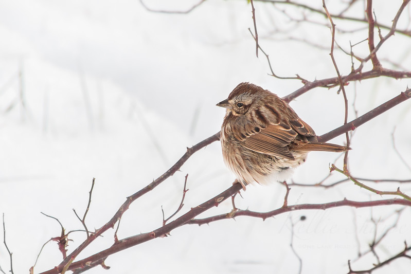 Sparrow in the Morning Snow